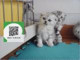烟台哪里有宠物猫出售,烟台哪里有卖纯种折耳猫价格