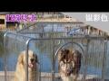 99成新狗狗笼子出售价格170