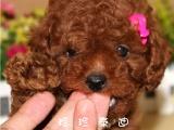 宠物店和狗市里的泰迪犬可以买吗 健康的多少钱一只