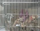 孟加拉豹猫二公一母