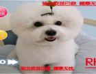 七夕送好礼赛级比熊 拥有极佳品质 让你无可挑剔 质保终身