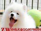 纯种精品萨摩犬 梦幻白 可爱漂亮 多只可选 正规大型犬舍