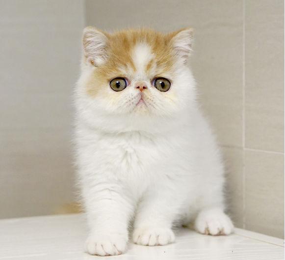 银川哪里有加菲猫卖 自家繁殖 品相极佳 多只可挑