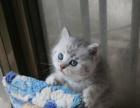 家养纯种美短起司猫银渐层找新家
