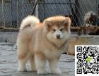正规养殖场出售高品质巨型阿拉斯加幼犬包健康
