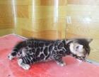 家庭繁育精品孟加拉豹猫