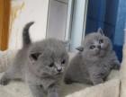 蓝猫多少钱 纯种蓝猫多少钱一只 广东超凡犬舍出售宠物猫