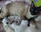《蔓蔓の猫 家庭繁育》蔓蔓家の家暹罗猫,找长期饭票