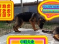 优选犬舍   自家狗场繁殖德牧犬——品质健康有保障—可刷卡签协议