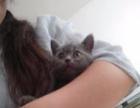 家养蓝猫1000元