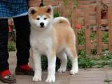 佛山哪里有卖秋田犬,佛山狗场养殖场地址在哪里