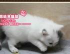 史上最萌英短蓝白梵文净梵小帅哥--思晴名猫坊