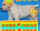 北京买纯种 导盲犬拉布拉多 价格酬宾/赠狗狗/户口
