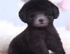 泰迪犬 我们更专业 欢迎挑选来基地挑选