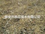 葫芦枣树苗 葫芦枣树苗多少钱一棵 山东枣树苗产地批发