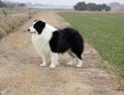 聪明勇敢边境牧羊犬幼犬出售世界最聪明的边境狗宝