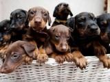 繁殖基地出杜宾幼犬,保健康包纯种