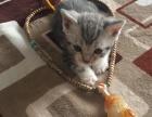 自己家养的美短虎班猫宝宝转让