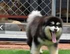 巨型熊版阿拉斯加犬 高品质 专业养殖 包纯种包健康