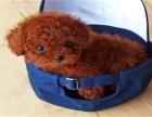 贵在真实诚信 贵在超高性价比 出售纯种泰迪犬幼犬