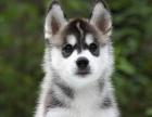 高品质纯血统双蓝眼三把火精品哈士奇活体宠物狗