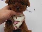 诚信交易纯种贵宾犬健康终身保障签协议送狗用品