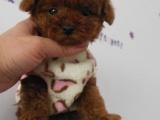纯种韩系泰迪熊 茶杯 玩具 可爱至极 购买可签订协议