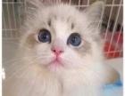 高端精品 双蓝布偶猫幼猫 CFA高品质种猫繁殖