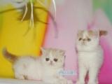 超级呆萌的加菲猫小宝宝,包纯种包养活,欢迎上门挑选