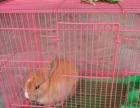 家养的垂耳宠物兔