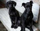本地大丹幼犬繁殖基地 多只精品宝宝可选