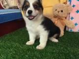 西安柯基犬怎么卖的 西安双色柯基 西安三色柯基照片