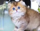 金渐层猫咪免费赠送