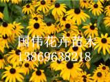 黑心菊当选国伟花卉苗木|黑心菊花海种植基地