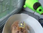 出售高品质波斯猫,超级可爱,随时来挑选