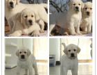 新年特惠赛级拉布拉多犬 温顺的导盲犬 想把它带回家吗