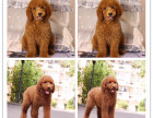 品质基地出售高品质巨型贵宾犬纯种包活 巨贵幼犬