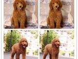 高端品质基地出售高品质巨型贵宾犬纯种包活 巨贵幼犬