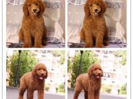 精品幼犬基地出售高品质巨型贵宾犬纯种包活 巨贵幼犬