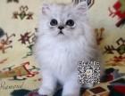 乌鲁木齐出售纯种金吉拉猫自家繁殖,品质保证,健康纯种
