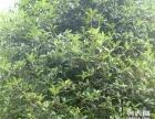 各种大桂花树。。紫薇花等。。