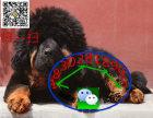 藏獒 狮头 虎头藏獒犬 疫苗齐全 精品藏獒出售