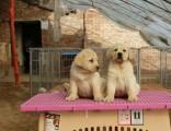 临沂犬舍出售纯种拉布拉多拉布拉多犬双血统大骨架黑色拉不拉多犬
