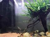 人工金线金 紫罗兰 红帆 珍珠鼠鱼