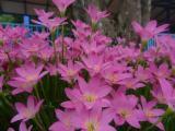 名声好的红花韭兰供应商推荐_河北红花韭兰