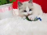 布偶猫大爆毛松鼠尾巴蓝色眼睛超蓝家养便宜哦