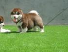 阿拉斯幼犬多少钱.专业繁殖基地 品质有保障