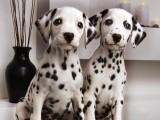 出售纯种斑点狗 保健康 血统纯 疫苗都打好包活