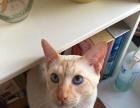 红虎斑暹罗猫借配了!