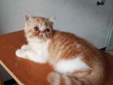 纯种加菲猫1000元 红色鱼骨刺加白 公猫